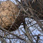 nid de frelons dans le lot et garonne