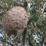 nid de frelons dans le tarn. et garonne