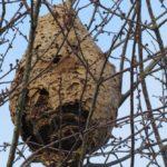 nid de frelons en dordogne