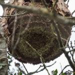 nid de frelons dans le lot