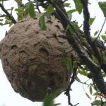 nid de frelons en aveyron